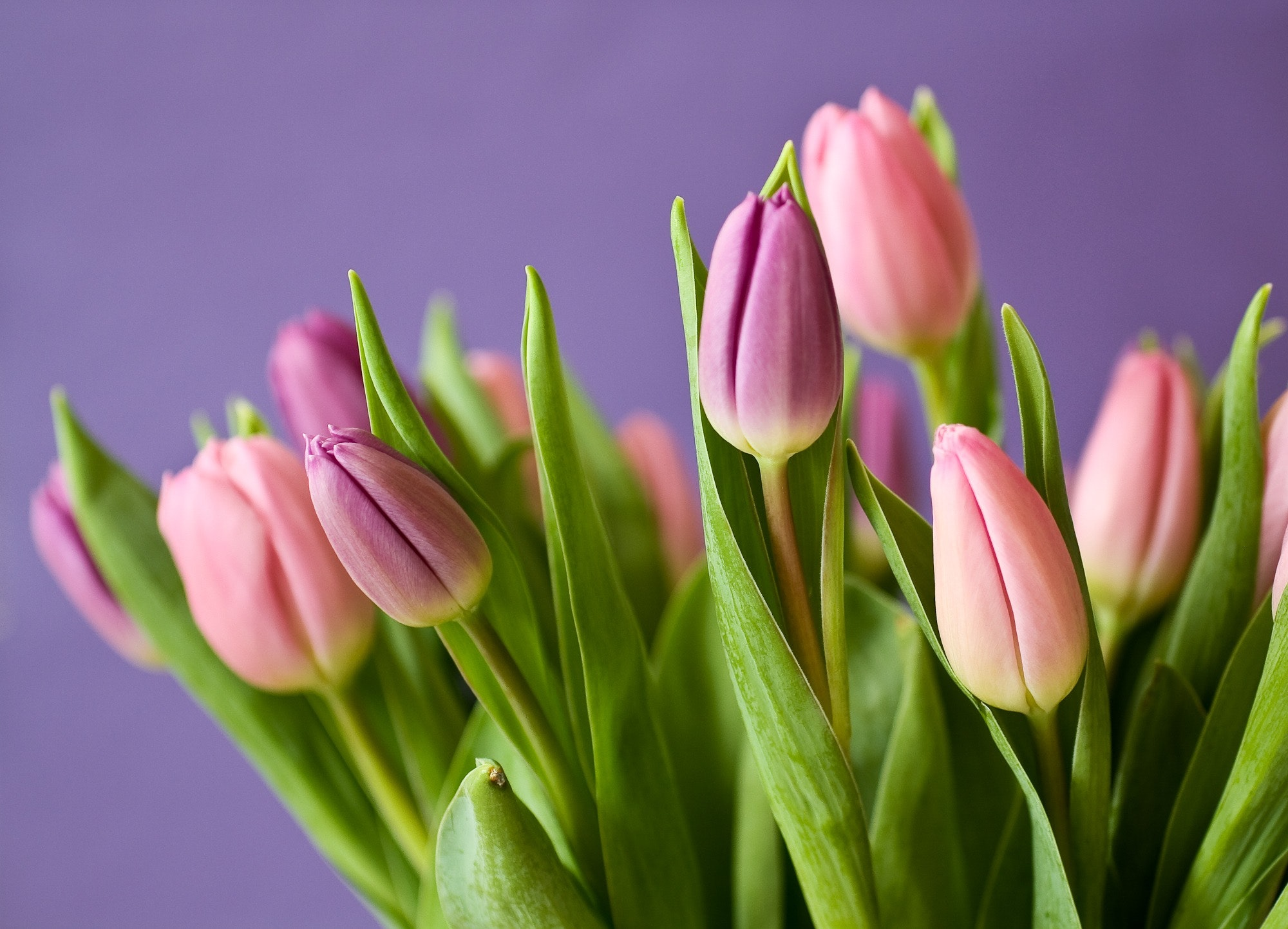 pink-tulips-54186